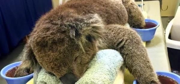 Jeremy il koala